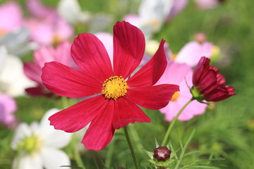 Cosmos flowers and bud,red and pink