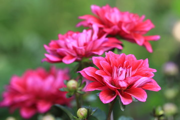 Dahlia flowers and buds
