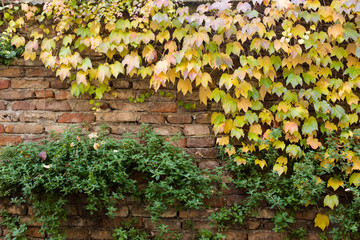 Old brick wall covered with yellow ivy and green plants