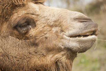 Door stickers Camel Portret van een kameel.