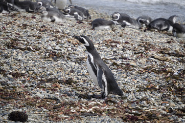 pinguini pinguinera punta arenas 32