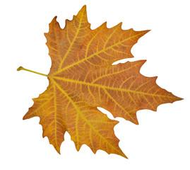 back  side of brown plane leaf veins