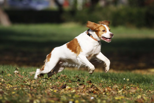 Happy dog Brittany spaniel playing in park, autumn