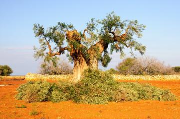 Puglia ulivo
