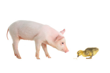 pig and goose