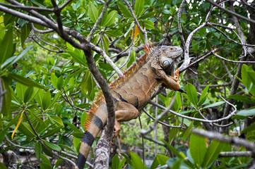 Iguana on a tree in its natural habitat