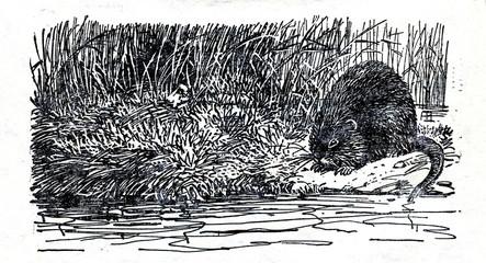 Muskrat (Ondatra zibethicus)