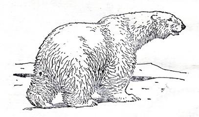 Polar bear (Ursus maritimus)