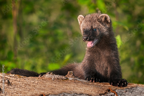 Weasel family fisher