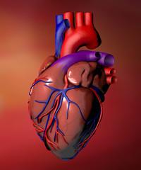 Cuore organo anatomia umana