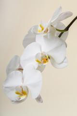 Autocollant pour porte Orchidée white orchid