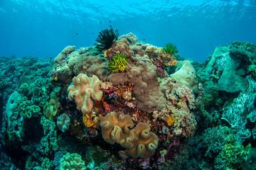 Mushroom leather corals in Banda, Indonesia underwater