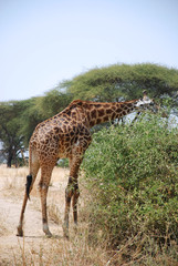 One day of Safari in Ruaha Park in Tanzania-Africa