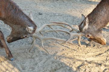fight  between deer