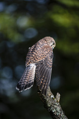 Wall Mural - Woodland Kestrel 2