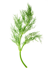 fresh dill herb leaf. food ingredient