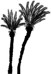 two black high palm trees isolated on white