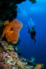 Diver and sea fan Melithaea in Banda, Indonesia underwater
