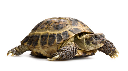 Photo sur Aluminium Tortue tortoise closeup isolated on white