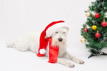 Christmas schnauzer