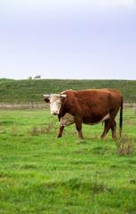 Wall Murals Cow Rindvieh auf der Weide