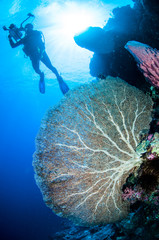 Diver and sea fan Annella mollis in Banda, Indonesia underwater