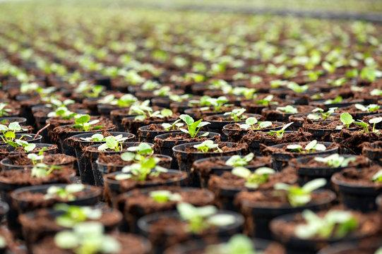 Transplanted seedlings at a nursery