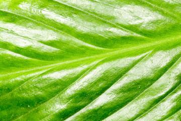 green leaf as background. macro