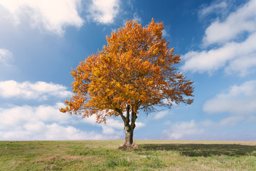 Lone tree with red leaves at sunny day