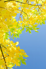 Vertical autumn background with yellow foliage over blue sky