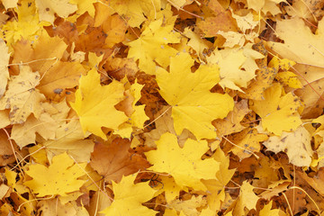 Background group autumn yellow leaves. Outdoor.