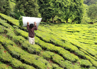Wall Mural - man harvesting tea on tea plantation