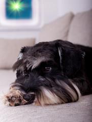 Close up of dog on sofa