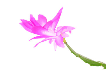Christmas cactus isolated on white