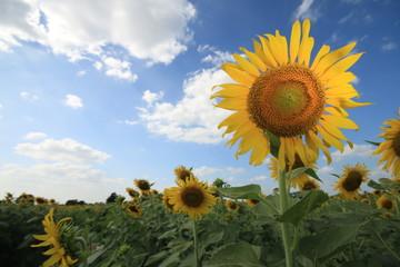 Sunflower, blue sky background.