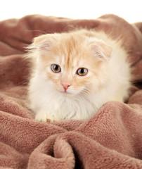 Cute little Scottish fold kitten on plaid, on white background