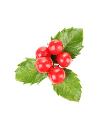 European Holly (Ilex aquifolium) with berries, isolated on