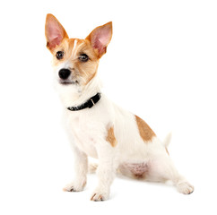 Funny little dog Jack Russell terrier, isolated on white