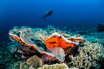 Diver, cabbage coral in Banda, Indonesia underwater photo