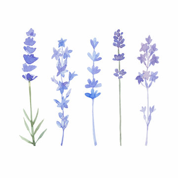 Watercolor lavender set. Lavender flowers isolated on white back