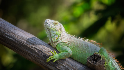 Green Iguana with green nature background