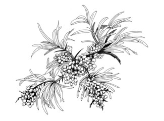 Buckthorn berries illustration