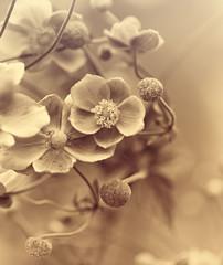 Wall Mural - Japanese Anemone (windflower)