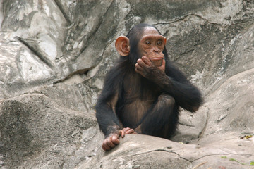 Little chimpanzee (Pan troglodytes)..