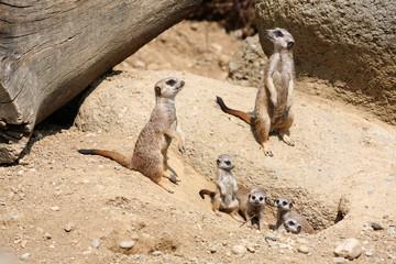 Meerkats (Suricata suricatta), also known as the suricates.