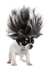 Fototapeta Chihuahua puppy small dog with crazy troll hair obraz
