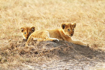 Lion Cubs on the Masai Mara in Africa