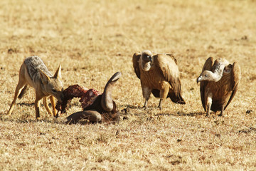 Jackal on the Masai Mara in Africa