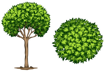 A Laurel tree