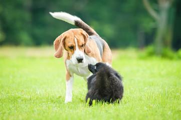 Black miniature spitz with beagle